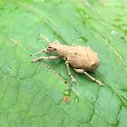 Peanut weevil