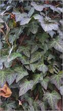Photo: Iederă (Hedera....) - verde si alte nuante de culori - din spatiul verde al blocului B17 - 2018.02.14