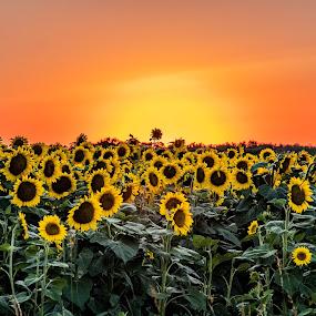 Sunset sunflowers by Darrin Ralph - Flowers Flowers in the Wild ( field flower, sunset, sunflowers, sunflower, yellow )