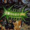 Caterpillar of Cup/Limacodid Moth