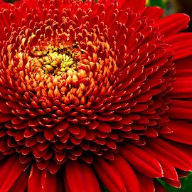 KaBoom by Mark Ritter - Flowers Single Flower ( floral, macro, beautiful, nature, closeup, flora, garden, flower )