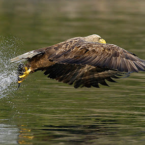 Got It by Harry Eggens - Animals Birds ( white-tailed eagle, hill, bird of prey, eagle, mountain, harriers, bald eagle, sea eagle, prey, cousin, photo, norway, bird, haliaeetus albicilla, flatanger, tree, hawks, raptor, harry eggens, accipitridae, nikon, kites, eurasia, feisol )