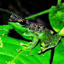Black spotted rock frog