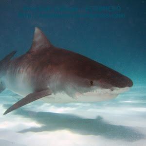 tiburón tigre - Bahamas