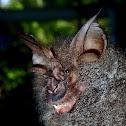 Great Wooly Horseshoe Bat