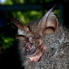 Great Wooly Horseshoe Bat