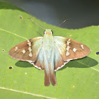 Long-Tailed Skipper  Butterfly