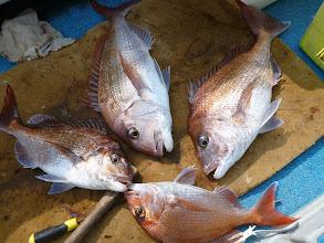 Photo: 真鯛のフォースキャッチ!