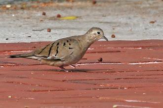 Photo: Ecuadorian Ground-Dove