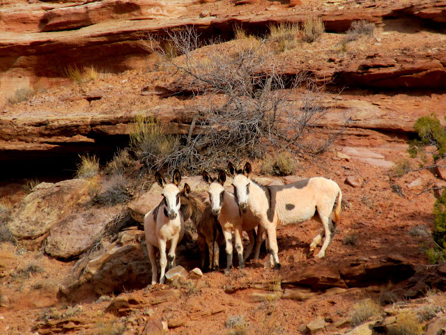 The same group of burros farther down Horseshoe Canyon