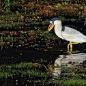 Arapapa (Boat-billed Heron)