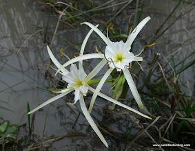 Photo: Water lily, Katy Prairie