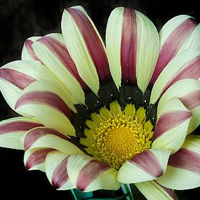 Gazania by Cristobal Garciaferro Rubio - Nature Up Close Flowers - 2011-2013 ( gazania, petals, flowers, flower, petal )
