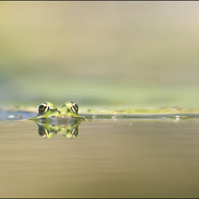 eyes by Melchiorre Pizzitola - Animals Amphibians ( nature / wildlife / frogs /animals / )