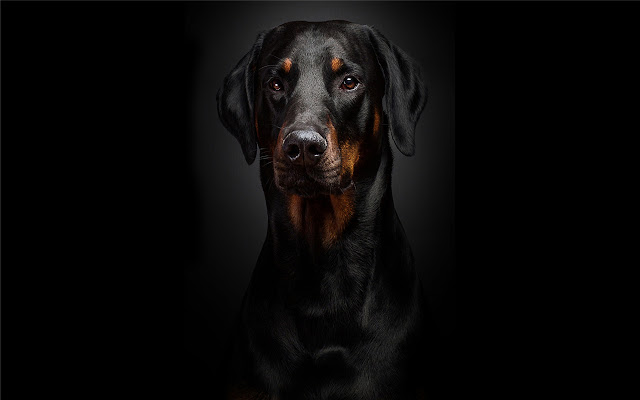 Rottweiler Themes & New Tab