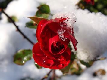 red-rose-1179035_960_720.jpg
