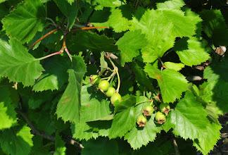 Photo: Fruits d'églantier
