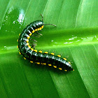 Yellow-spotted millipede, Almond-scented millipede or Cyanide millipede