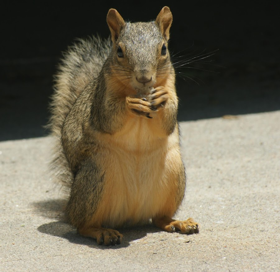 Our friendly lil squirel that visits us.. :) by Laura Fletcher - Animals Other