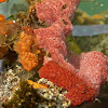 Unknown Red Tunicates