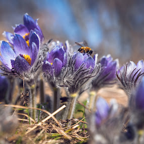 The bee and the pasque-flowers by Petar Shipchanov - Flowers Flowers in the Wild ( flowers, bee, pasque-flowers, beauty, bulgaria, spring, bud, mountain, wildflowers, blue, field, closeup, grass, purple )