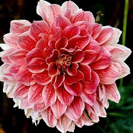 by Rajesh Dhungana - Flowers Flower Gardens (  )