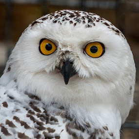 Snowy Owl by John Sinclair - Animals Birds ( snow owl,  )