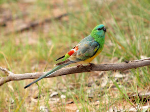 Photo: Red-rumped Parrot