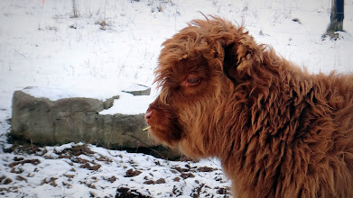 Photo: Young Scottish Highland casually works piece of hay while contemplating the view...