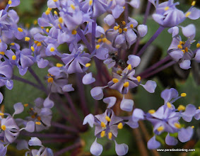 Photo: The tiny but stunning flowers of Mahala mat, a ground-creeping Ceonothus species. Lassen Nat'l Forest.