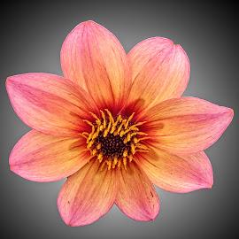 FI dahlia 15 by Michael Moore - Flowers Single Flower