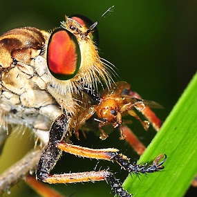 makan pagi by Niin Peweel - Animals Insects & Spiders ( animals, insects )