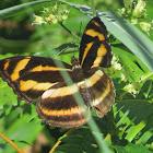 Orange Staff Sergeant Butterfly
