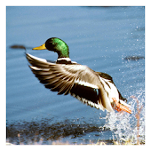 Mallard Ducks - Live Wallpaper