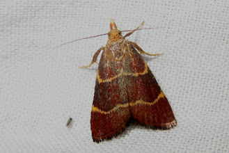 Photo: Hypsopygia rubidalis    PGE  Lepidoptera > Pyralidae