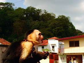Photo: #013-Singe capucin