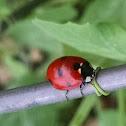 Seven-spotted Ladybug Beetle