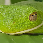 White lipped green frog