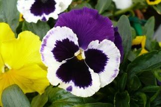 Bratek kwiat Viola xwittrockiana