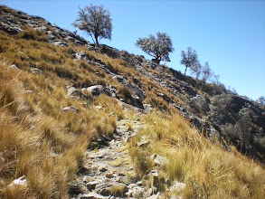 Photo: A few Quenual trees across a ridge, seen on the way up to Lake Awak.