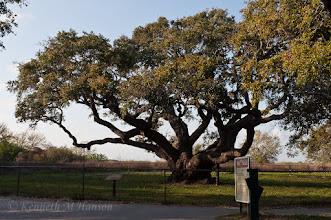 Photo: The Big Tree, Lamar, Texas