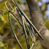 Sweet Indrajao, Pala indigo plant, Dyers's oleander