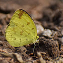 Large Grass Yellow / Common Grass Yellow