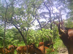Photo: Sable herd feeding at the salt lick; Manada de palancas alimentando-se na salina.