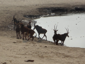Photo: Sables coming to drink