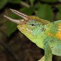 Ruwenzori 3-horned Chameleon