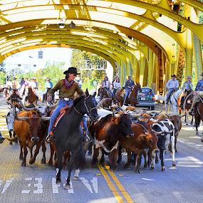Cattle drive on Tower Bridge by Kati Garner - City,  Street & Park  Street Scenes ( cattle drive, bulls, cowboys, ropes, cattle )