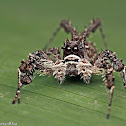 White-mustached Portia Jumping Spider