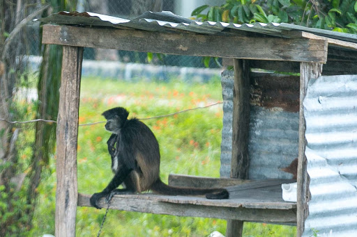A howler monkey kept in a backyard treehouse along the highway in Mexico's Costa Maya.