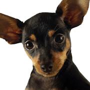 Chihuahuas Dog Jigsaw Puzzles
